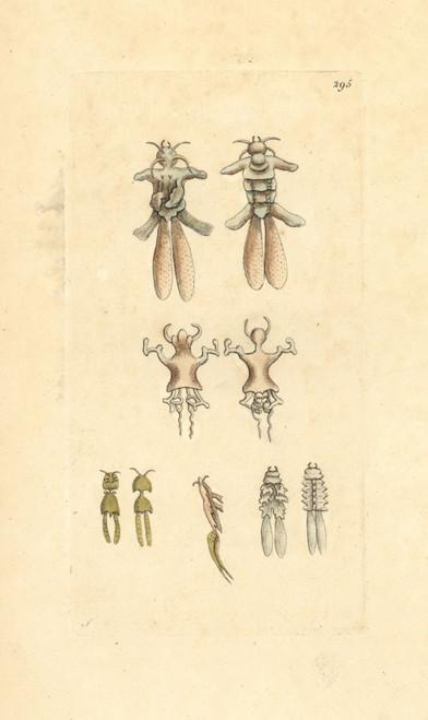 Anchor Worms  Lernaeae  Copepod Crustacean Fish Parasite Poster Print By ® Florilegius / Mary Evans - Item # VARMEL10940421