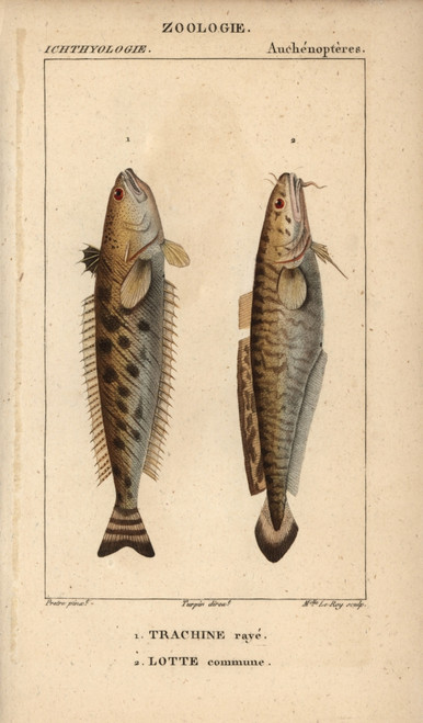 Striped Weever  Trachinus Lineolatus  And Lingà Poster Print By ® Florilegius / Mary Evans - Item # VARMEL10938397