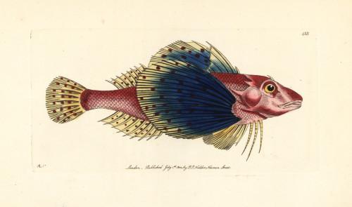 Bluewing Searobin  Prionotus Punctatus Poster Print By ® Florilegius / Mary Evans - Item # VARMEL10940654