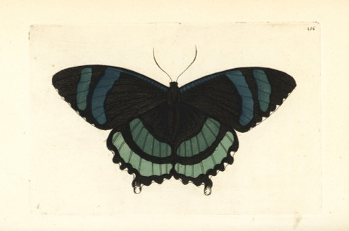 Alcides Orontes Moth Poster Print By ® Florilegius / Mary Evans - Item # VARMEL10940702