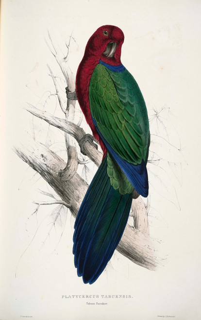 Psittacidae 1832 Tabuan Parakeet Poster Print by  Edward Lear - Item # VARPPHPDP84668