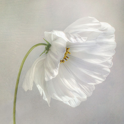Daisy Detail Poster Print by Mandy Disher - Item # VARPDX19778