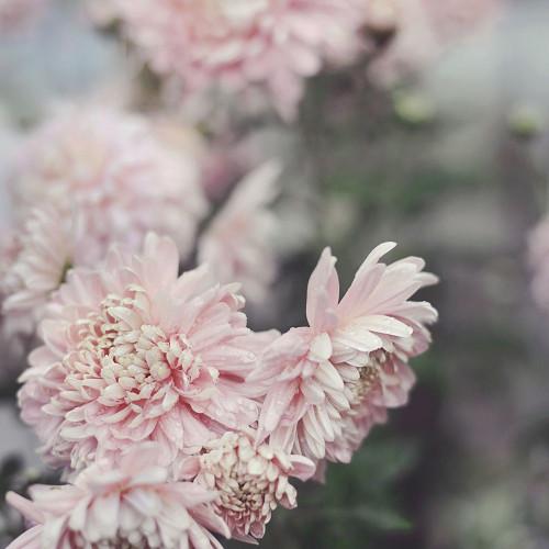 Evening Blooms Poster Print by Sarah Gardner - Item # VARPDX12017S