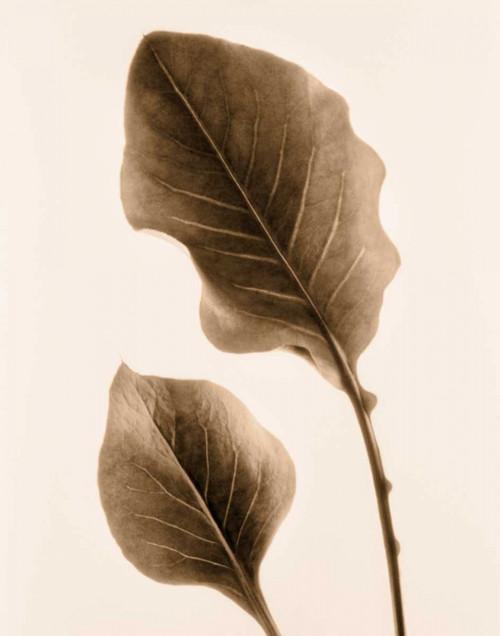 Philodendron Leaf Poster Print by Julie Greenwood - Item # VARPDX103GRE1331