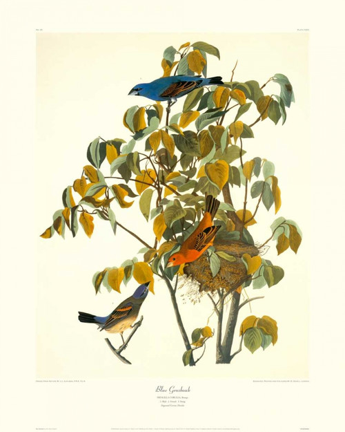 Blue Grosbeak Poster Print by John James Audubon - Item # VARPDX132792