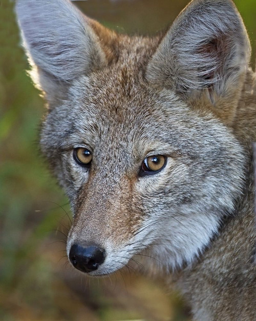 Coyote Poster Print by Larry McFerrin - Item # VARPDXLF1037