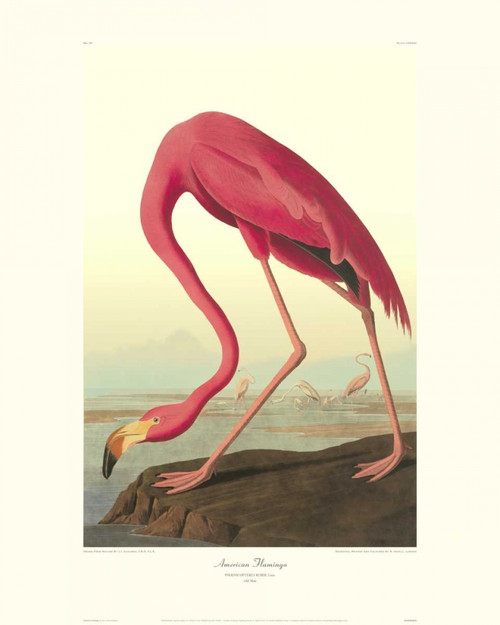 American Flamingo Poster Print by John James Audubon - Item # VARPDX132758