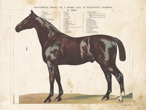Anatomical Model Horse Poster Print by Gwendolyn Babbitt - Item # VARPDXBAB478
