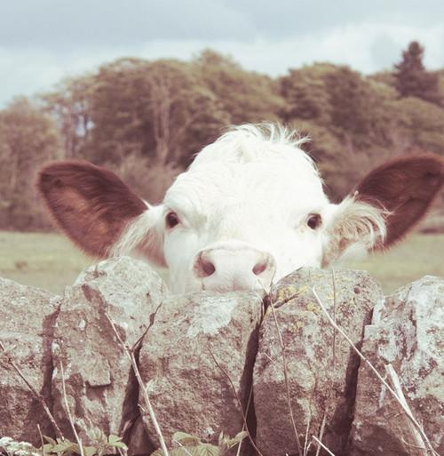 Peek-a-Boo Cow Poster Print by JB Hyler - Item # VARPDX12765C
