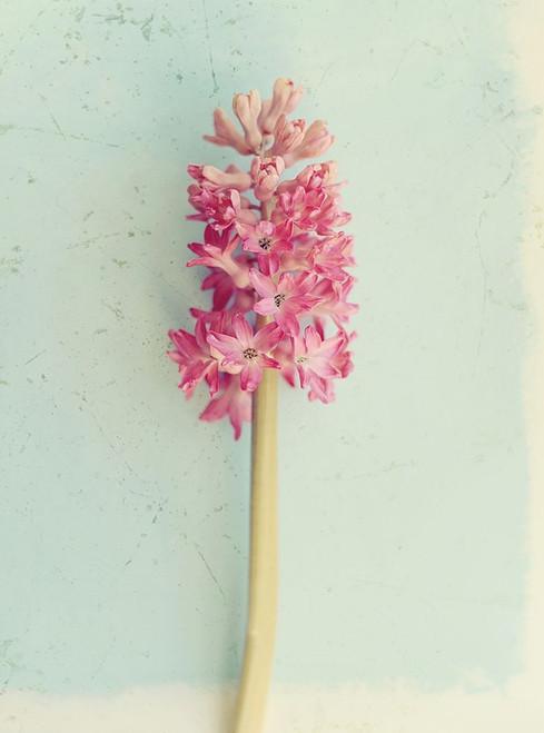 Soft Pink Hyacinth Poster Print by Sarah Gardner - Item # VARPDX12016M