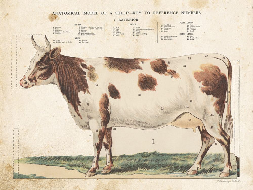 Anatomical Model Cow Poster Print by Gwendolyn Babbitt - Item # VARPDXBAB477