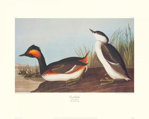 Eared Grebe Poster Print by John James Audubon - Item # VARPDX132771