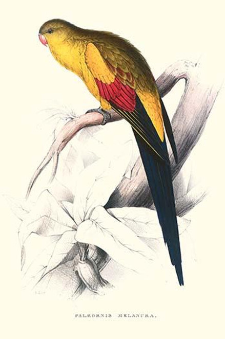 Black Tailed Parakeet .  High quality vintage art reproduction by Buyenlarge.  One of many rare and wonderful images brought forward in time.  I hope they bring you pleasure each and every time you look at them. Poster Print by Edward  Lear - Item #