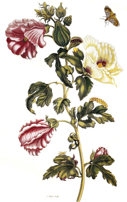 Okra. /Nalso Known As Lady'S Fingers (Abelmoschus Esculentus). Line Engraving By P. Sluyter After A Drawing By Maria Sibylla Merian, From Merian'S 'De Metamorphosibus Insectorum Surinamensium,' 1705. Poster Print by Granger Collection - Item # VARGRC