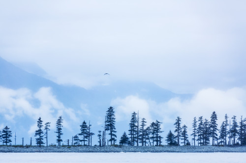 A Bird Flies Above Trees Under A Cloudy Sky And Fog On The Coast Of Resurrection Bay, South-Central Alaska; Seward, Alaska, United States Of America Poster Print by Kevin G. Smith / Design Pics - Item # VARDPI12325780