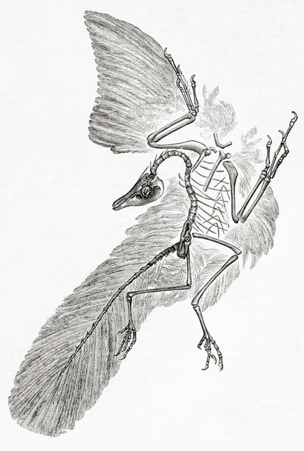 An Archaeopteryx,  genus of bird-like dinosaurs that is transitional between non-avian feathered dinosaurs and modern birds.  From Meyers Lexicon, published 1927. Poster Print by Ken Welsh / Design Pics - Item # VARDPI12332578