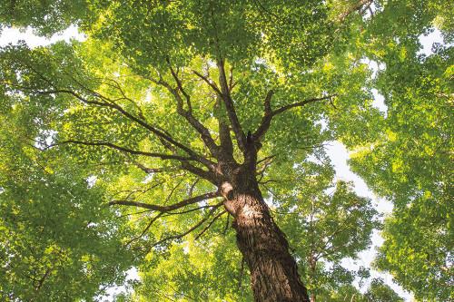 Hardwood Forest Canopy V Poster Print by Alan Majchrowicz - Item # VARPDX52771