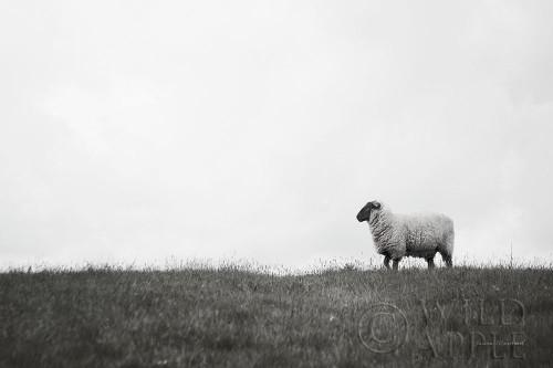 Islay Sheep II Poster Print by Laura Marshall - Item # VARPDX53673