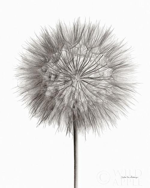Dandelion Fluff on White Poster Print by Debra Van Swearingen - Item # VARPDX55158