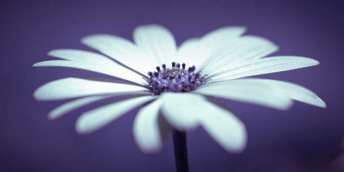 Daisy Flower Poster Print by Assaf Frank - Item # VARPDXAF20110601094C02