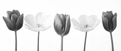 Five tulips in a row, FTBR-1820 Poster Print by Assaf Frank - Item # VARPDXAF20120424355C02