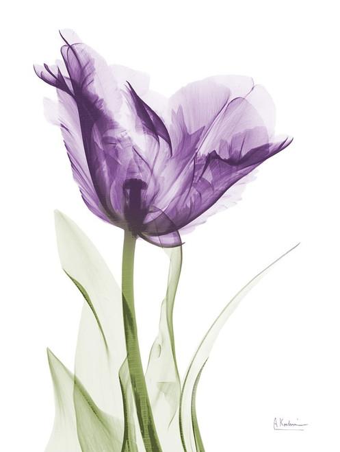 Lavender Trance Poster Print by Albert Koetsier - Item # VARPDXAK5RC330B