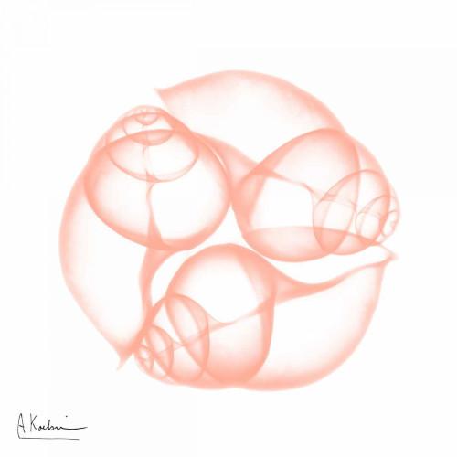 Peach Snail Shell Poster Print by Albert Koetsier - Item # VARPDXAK7SQ014C