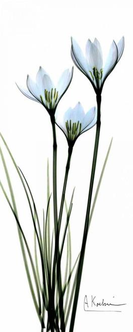 White Lilies in Blue Poster Print by Albert Koetsier - Item # VARPDXAKPL091