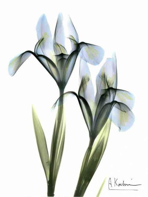 Blue Iris Pair Poster Print by Albert Koetsier - Item # VARPDXAKRC042A