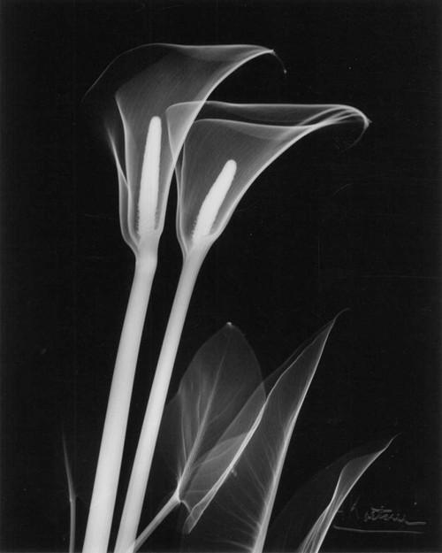 Calla Lily Close Up on Black Poster Print by Albert Koetsier - Item # VARPDXAKRC065