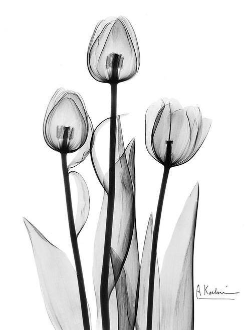 Tulips Black and White Poster Print by Albert Koetsier - Item # VARPDXAKRC129A
