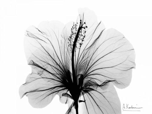 Hibiscus in BandW Poster Print by Albert Koetsier - Item # VARPDXAKRC269