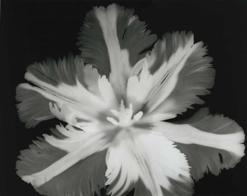 Big Blossom II Poster Print by Albert Koetsier - Item # VARPDXAKRC509B