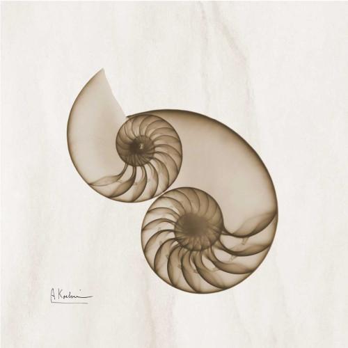 Brown Shell Pair Poster Print by Albert Koetsier - Item # VARPDXAKXSQ203