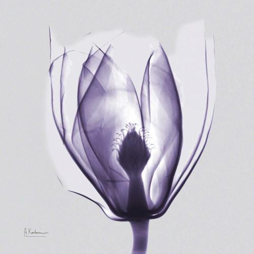 Purple Tulip Bud on Purple Poster Print by Albert Koetsier - Item # VARPDXAKXSQ327A