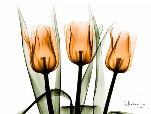 Tulips Orange Poster Print by Albert Koetsier - Item # VARPDXAKZRC137A1