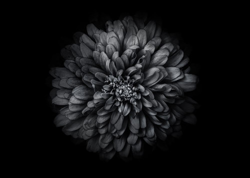 Backyard Flowers 68 B and W Poster Print by Brian Carson - Item # VARPDXCAP19016A