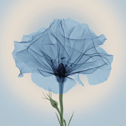 Bud in Bloom, Blue Poster Print by Anonymous Anonymous - Item # VARPDXFAF1297
