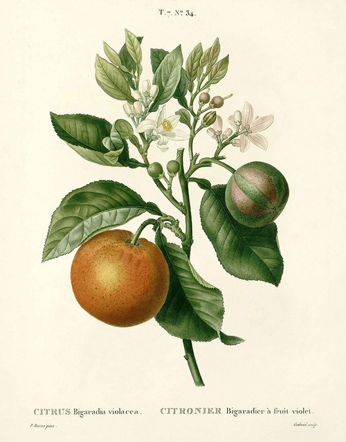 Citrus Plant Botanical Poster Print by Anonymous Anonymous - Item # VARPDXFAF1460