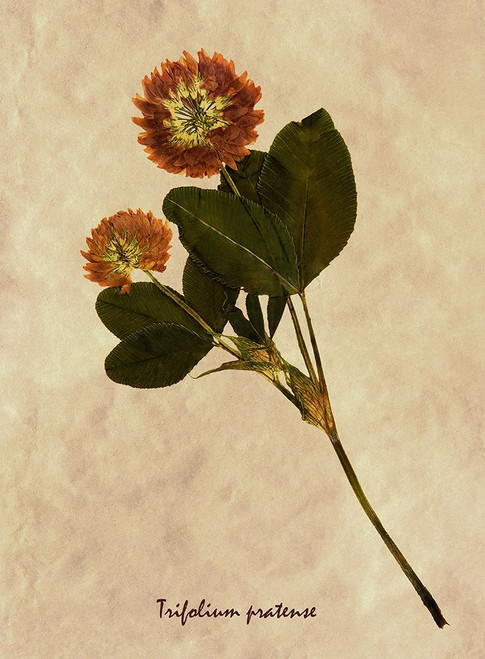 Pressed and Dried Red Clover Poster Print by Anonymous Anonymous - Item # VARPDXFAF1465