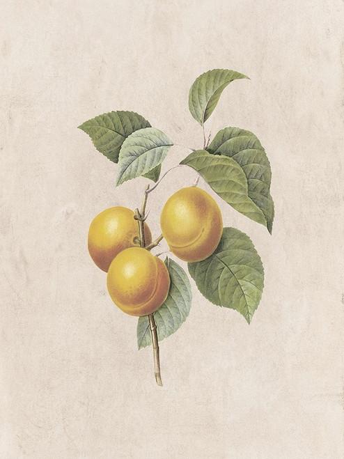 Fruity Botanic 2 Poster Print by Sheldon Lewis - Item # VARPDXSLBRC804B
