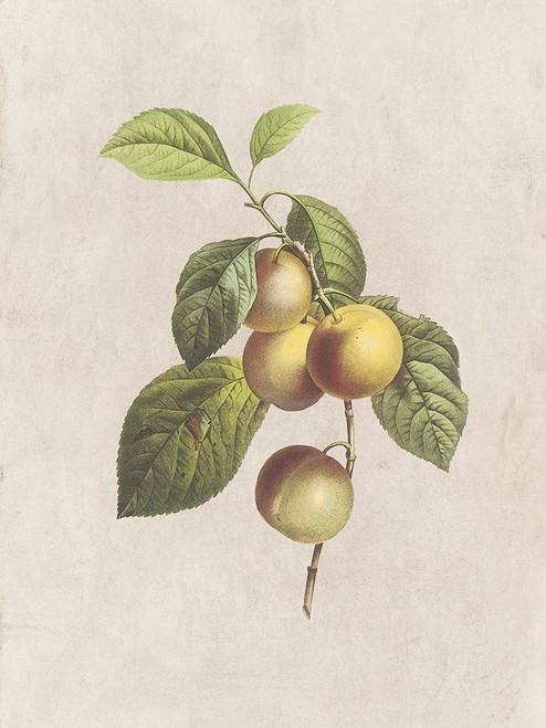 Fruity Botanic 3 Poster Print by Sheldon Lewis - Item # VARPDXSLBRC804C