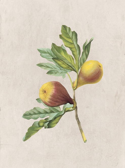 Fruity Botanic 4 Poster Print by Sheldon Lewis - Item # VARPDXSLBRC804D