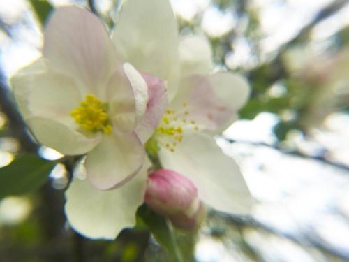 Apple Blossoms III Poster Print by Popcorn Popcorn - Item # VARPDXWJTFLO00092
