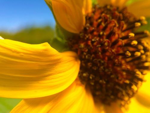Sunflower I Poster Print by Popcorn Popcorn - Item # VARPDXWJTFLO00125