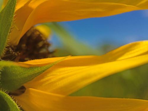 Sunflower III Poster Print by Popcorn Popcorn - Item # VARPDXWJTFLO00127