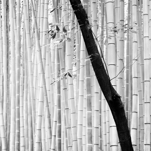 Bamboo Forest Poster Print by Alexandre Manuel # AM031A