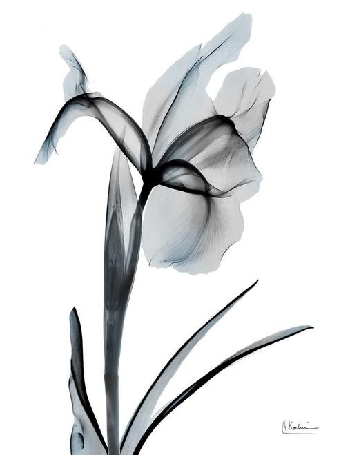Ombre Sea Salt Iris 2 Poster Print by Albert Koetsier # AK8RC589B