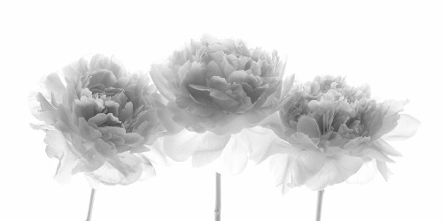 Peonies on white background Poster Print by Assaf Frank # AF20200325067C01