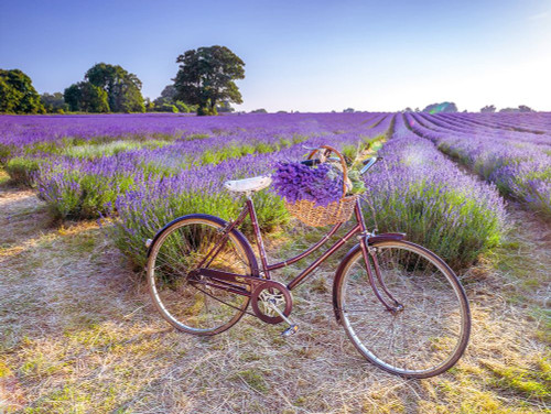 Bicycle with flowers in a Lavender field Poster Print by Assaf Frank # AF20130708173